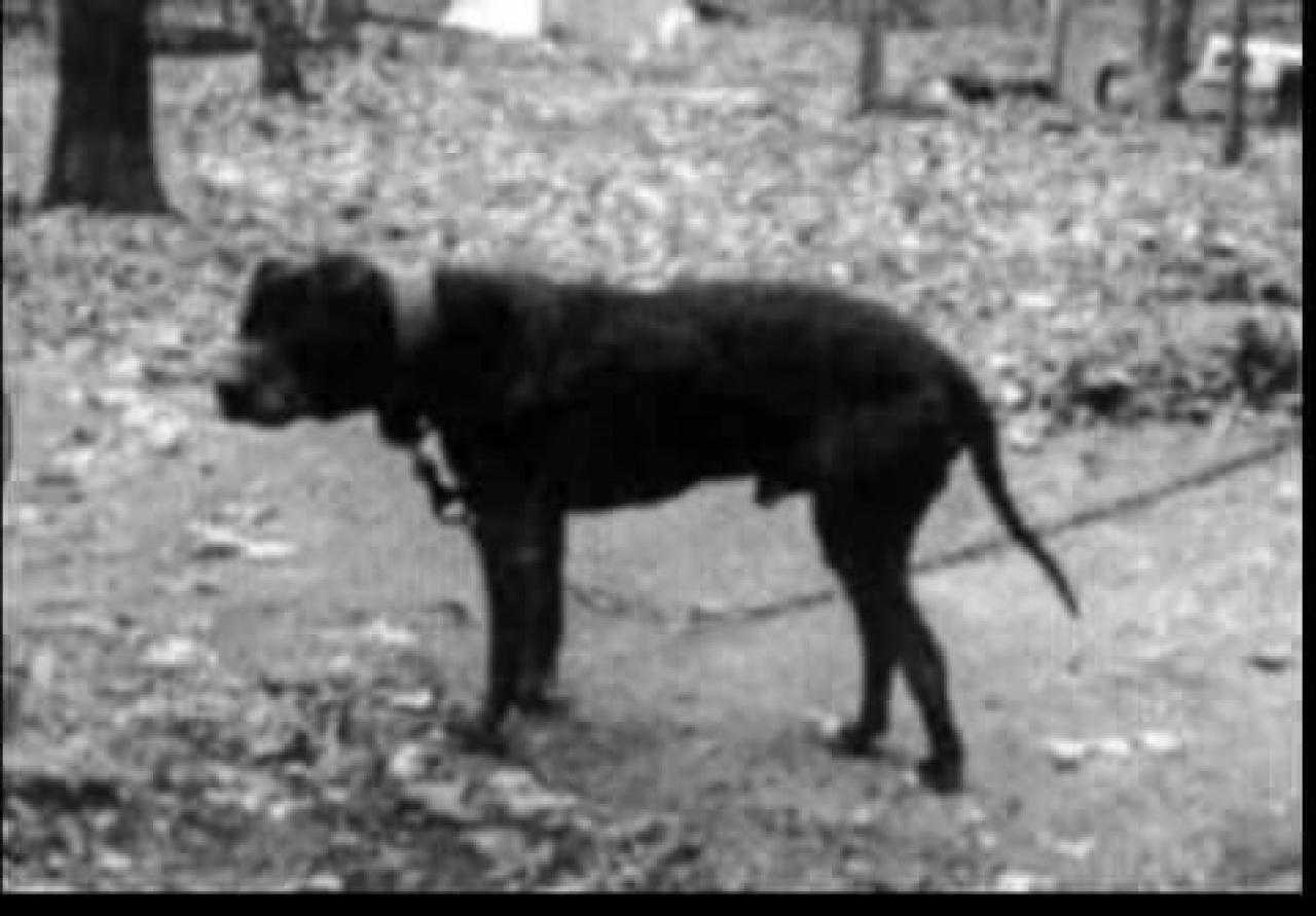 gamedogs pedigree  garner u0026 39 s chinaman