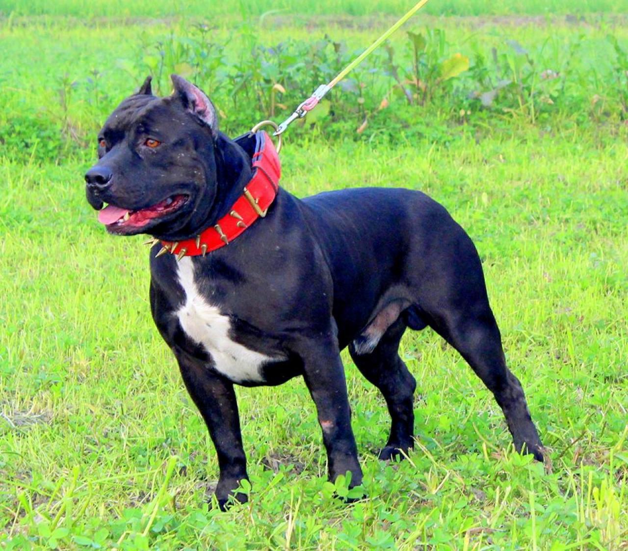 Pedigree Database: GURI RAI'S BLACK BEAST HERO( ASIA'S