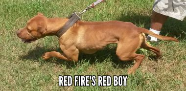 Pedigree Database: ^RED FIRE'S RED BOY
