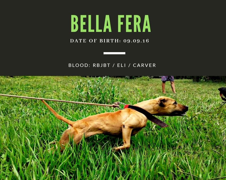 Pedigree Database: DANGER'S PIT KENNEL - BELLA FERA