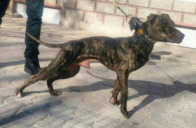 Pedigree Database: K I M KENNEL'S (LYKIA DOG'S) BADY