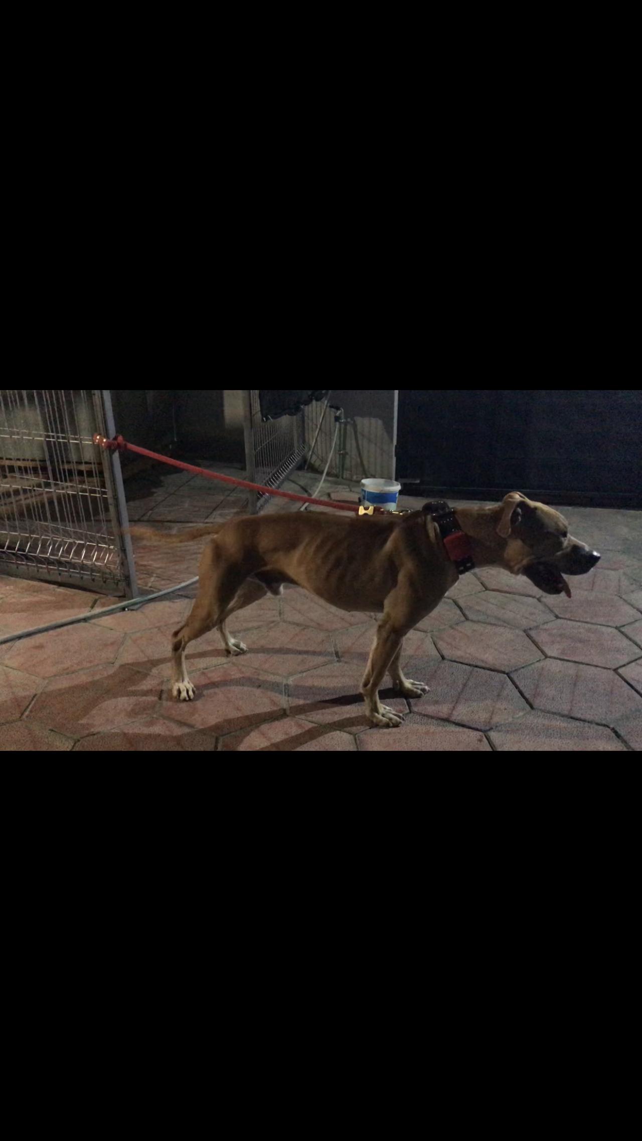 Pedigree Database: AL GAME DOGS & MONTENEGRO KENNELS SAJO'S BASTER